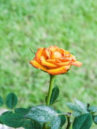 rosoideae: the blooming yellow rose in the garden