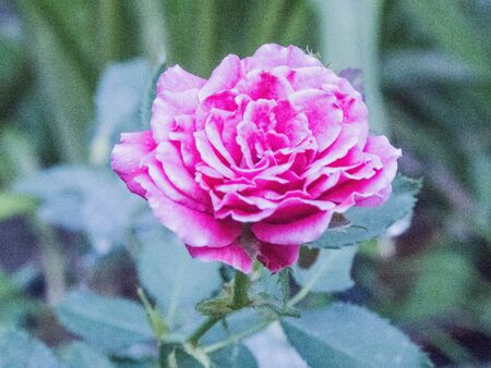 rosoideae: pink rose - fjor love and for all  Stock Photo