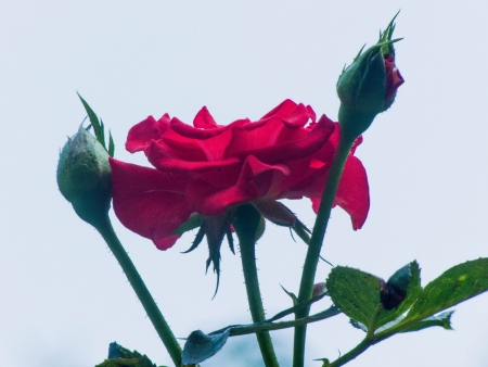 rosoideae: Red roses on the bright background