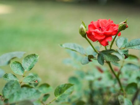 rosoideae: budding and blooming roses.