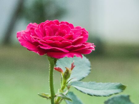 rosoideae: the red rose is for love and desire