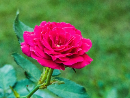 rosoideae: blooming red roses.