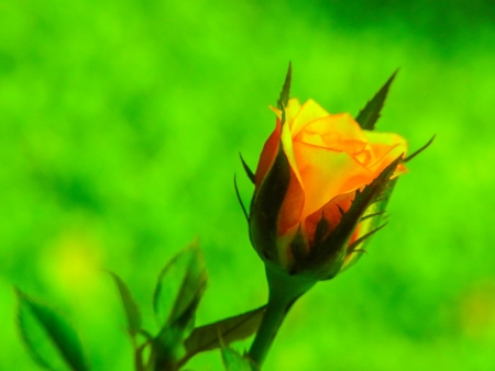 rosoideae: the yellow rose on a green background. Stock Photo