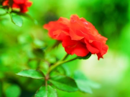 rosoideae: red rose - the symbol of love. Stock Photo