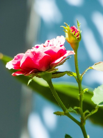 rosoideae: Budding and blooming red roses