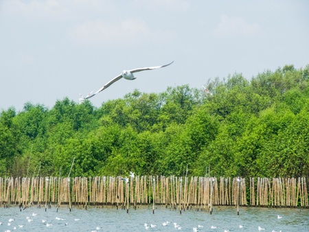 The mangrove forest and  seagulls  at Bang Poo , Thailand
