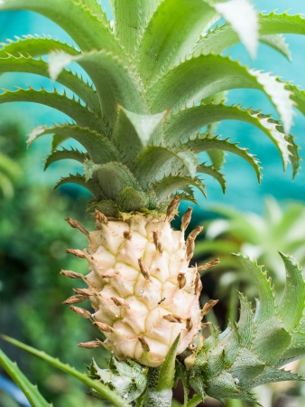 Pineapple is the fruit of sweet and sour falvor