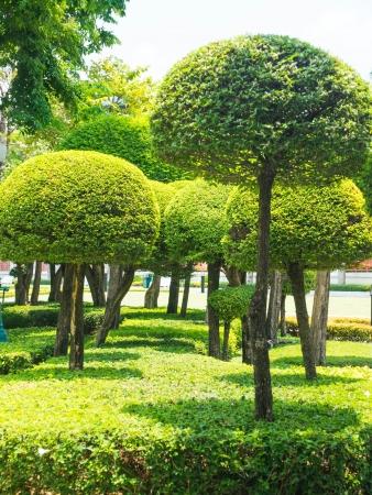 bois �b�ne: Ebony est cultiv� comme plante naine ornement pour la d�coration de jardin