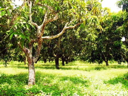 A mango garden was left uncultivated                                        Stock Photo