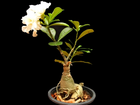 The white desert roses with white flowers and big rock   roots                                                              photo