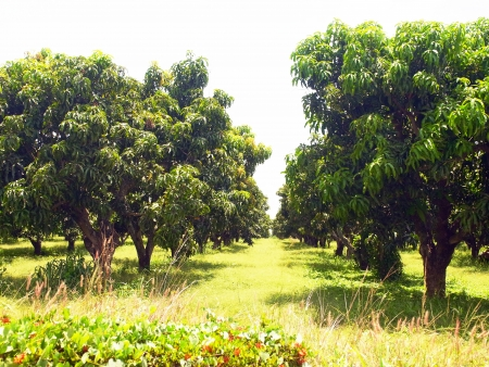 uncultivated: A mango garden was left uncultivated