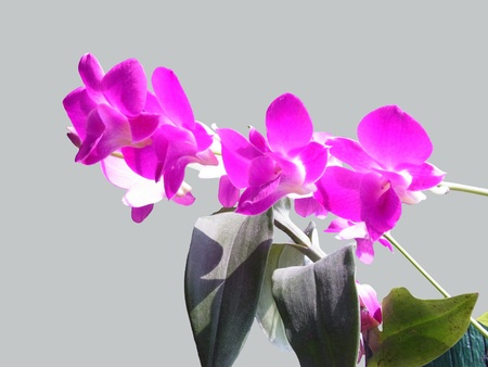 Pink flowers of Dendrobium orchid species   Species are spread out in Asia and the Pacific Islands                                                              Stock Photo