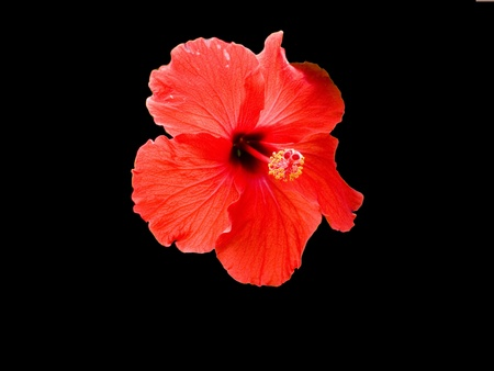 A red chaba ,queen of tropic flower  Stock Photo
