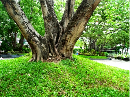 branching: The branching main trunk of  a big tree in a public park
