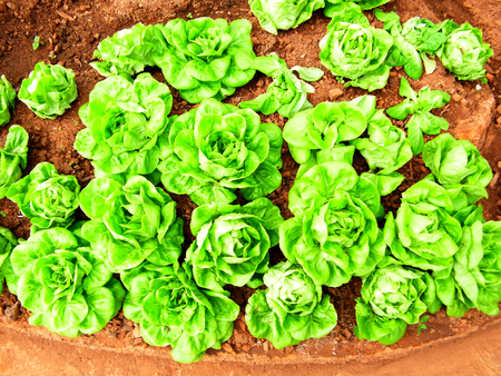 lactuca: Lettuce leaves are used as a component of salad sandwich or eaten as a vegetable                                              Stock Photo
