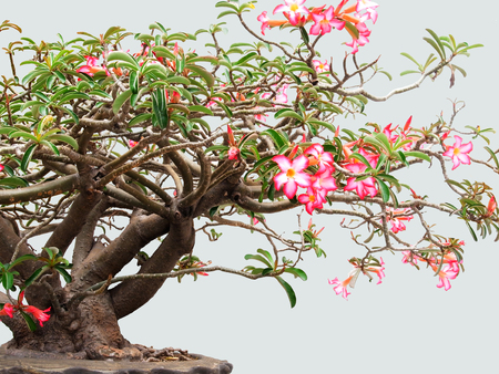 drought    resistant plant: The beautiful colorful flowers which are believed to be  flowers of wealthy