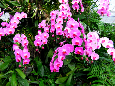 Phalaenopsis is one of the most popular orchids for orchid lovers                                               photo