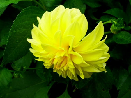Bright yellow and eye - catching dahlia in a garden.