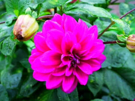 eye catching:  Dahlia flower is beautiful and eye - catching.