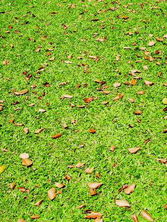 regularly: Brown leaves regularly  scatterd over the surface of a lawn