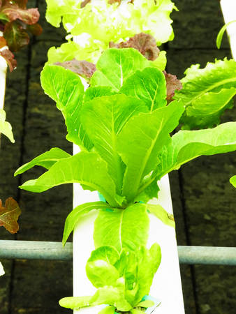 non  toxic:  Dark green leaves of hydroponic vegetable wrapped up loosely                                                                Stock Photo