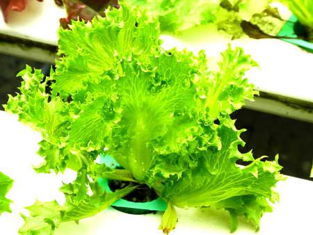 non toxic: Planta hidrop�nica de hojas verdes en un pozo