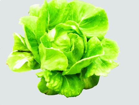 non  toxic:  Green leaves hydroponic vegetable on isolated background