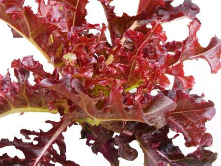 non toxic: Veh�culo hidrop�nico, Red Oak, con rojizo oscuro se va en el aislamiento blanco