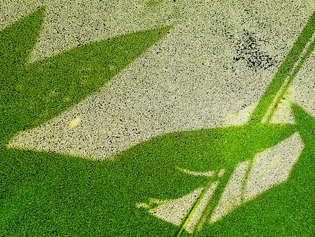 plantas acuaticas: La sombra de las plantas de agua sobre la lenteja de agua ampliado
