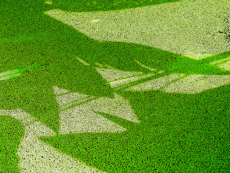 plantas acuaticas: Los patrones de las plantas de agua sombra sobre la lenteja de agua ampliado Foto de archivo