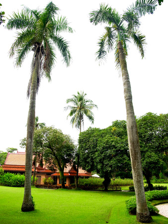 Foxtail palms or palm squirrel in a city park                                                                     Stock Photo