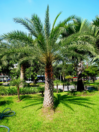 lifespan:   Oil palm plants are monocots and long lifespan and can live to 80 - 100 years