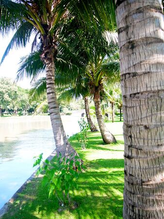 A row of coconut trees lines along a lake in a garden                                                                photo