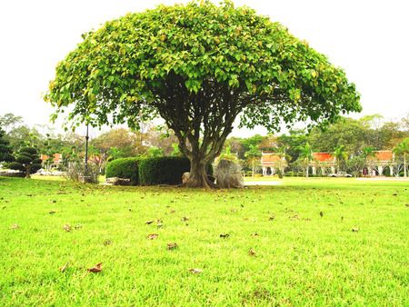 Bodhi is a long lived plant with 20-30 meters high and 1 5-3 meters of trunk deameter