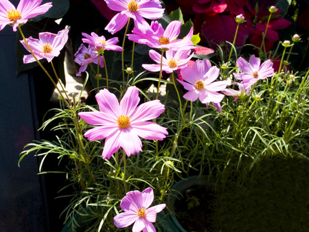 Comos is a flowering plant with various colors range from pink , red , white , violet  Stock Photo