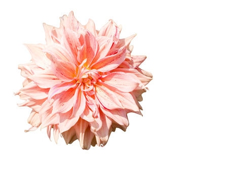 A beautiful  flower of garden dahlia , a flowering plant