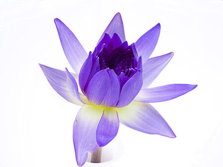 A lotus decorating in a vase on white isolation  Stock Photo