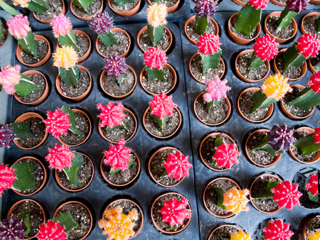 Young cactus in small pots
