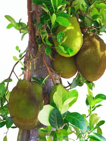 recognized: Jackfruit is a fruit recognized for its fruity flavor and its deliciousness  Stock Photo