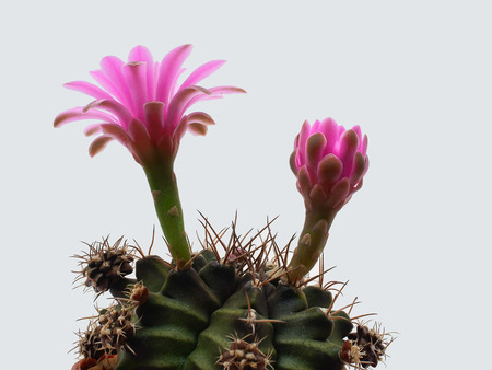 The spiny plant with beautiful pink flowers