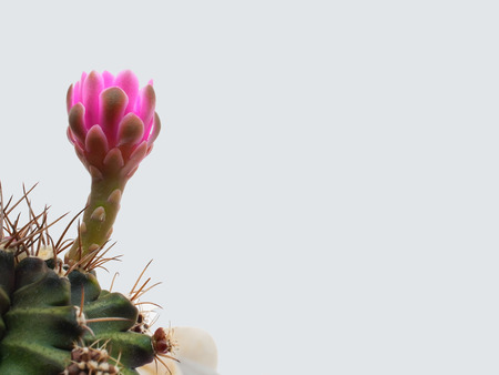 Pink flowers with multipetals of cactus plant