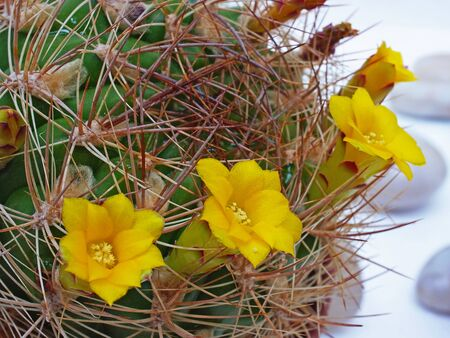 The spiny plant with beautiful yellow  flowers       Stock Photo