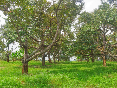 The perennial evergreen trees with 25 - 50 meters high  acute angle branching , gray outer bark of the trunk