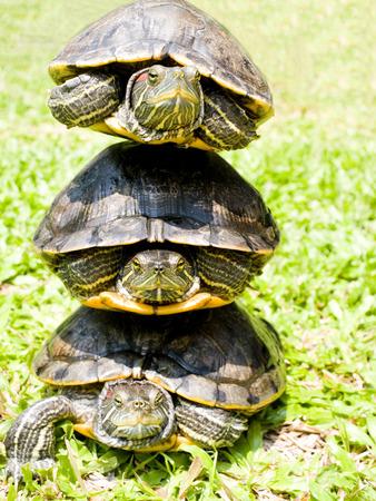 cartilaginous: Turtles stacked up