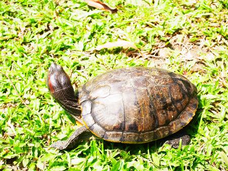cartilaginous: Turtles  Stock Photo