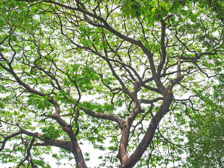 outspread:  A rain tree outspread its branches and leaves to give shadow and cool