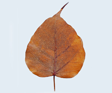 A leaf of the pho , a symbol of happiness , success , longevity and good fortune  Stock Photo