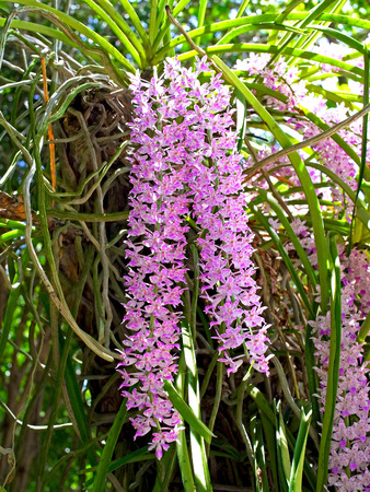 gigantea: Bunches of pink and white aromatic flowers of rhynchostylis gigantea.