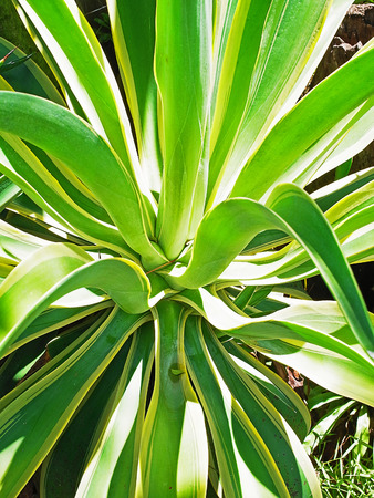 sturdy: Pineapple is a sturdy plant and can be planted in the low light conditions. Stock Photo