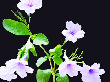 herbaceous: Neets is a small herbaceous plant with purple flowers. Stock Photo
